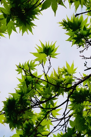 green tree leaves texture in the nature in springtime Stock fotó