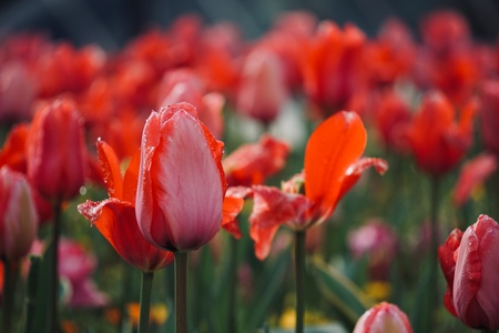 red tulip in the garden in summer, tulips in the nature