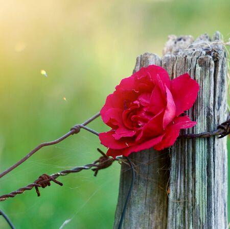 Planta de flor de rosa roja en el jardín en la naturaleza