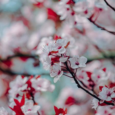 beautiful cherry blossom in spring season, sakura flower Imagens