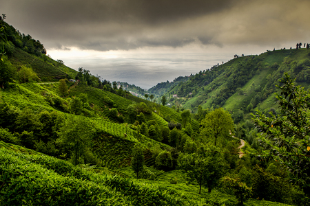 Tea plantation landscape, Rise Turkey