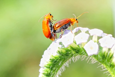 red bug matting on flower photo