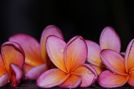 pink frangipani flower, isolated black background photo