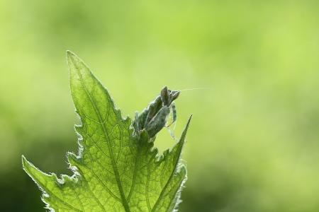 mantis behind leaf photo