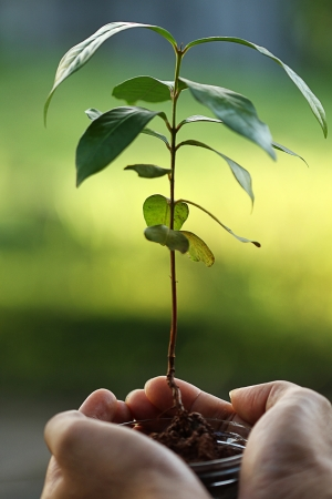 replanting: replanting trees, save the earth Stock Photo