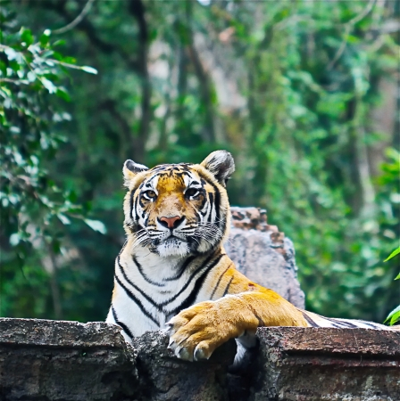 royal bengal tiger on safari park photo