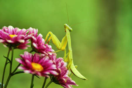 Indonesian flowers and Mantis
