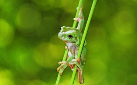 grenouille verte: grenouille verte, isol� sur le vert