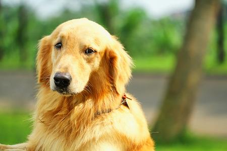 dog, golden retriever Foto de archivo