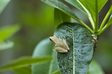 arboreal frog: rana jard�n en una hoja