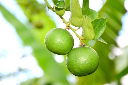 lemon tree: Lemon Tree