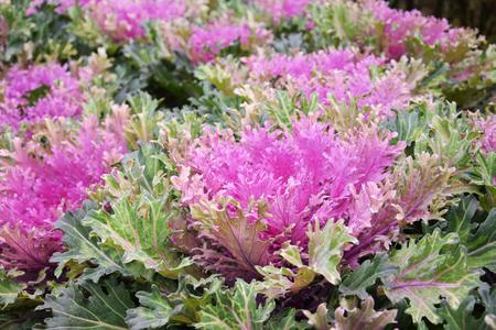 Fresh organic collard greens,red cabbage garden Stock Photo