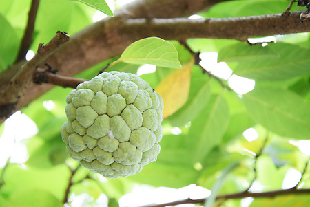 Sugar Apple or Custard Apple growing on a tree Stock Photo