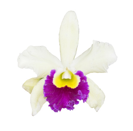 White Cattleya Orchid isolated on a white background.