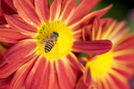 red daisy flower and bee