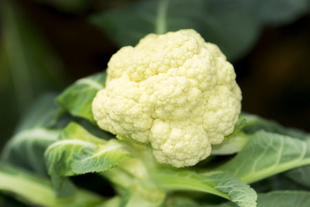 fresh cauliflower in the vegetable garden