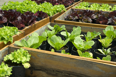 Fresh lettuce growing in Raised Beds 스톡 콘텐츠