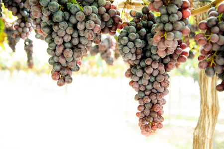 Bunch of grapes on a vine in the sunset.