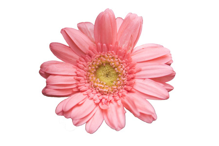 Pink chrysanthemum isolated on white background