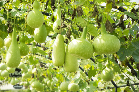gourd, Calabash gourd fruit and trees in the garden
