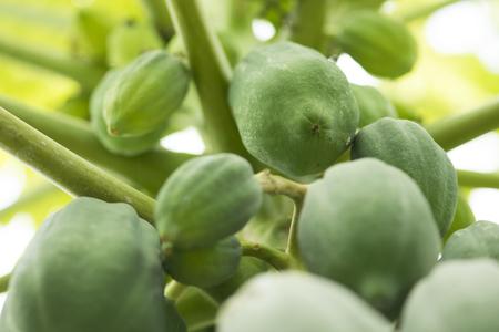 Fresh green papaya on tree.papaya tree with bunch of fruits