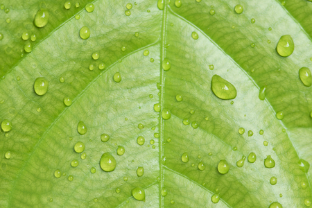 Water droplets on Green leaves texture background