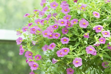 pink flowers in the garden Standard-Bild