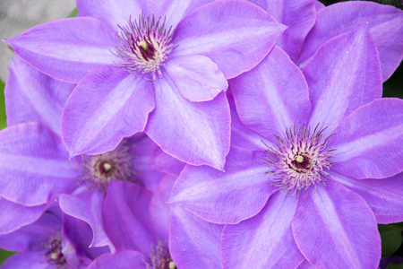 lavender clematis flower. Purple background.