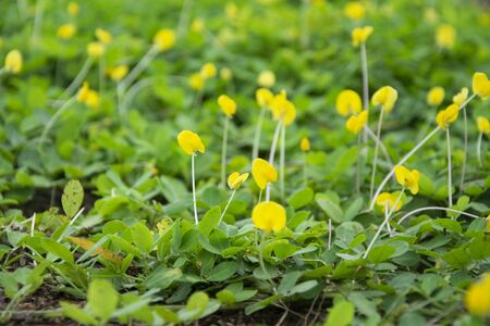 Pinto Peanut Lawn Ground cover by plant as Background and Texture. Yellow flowers field.