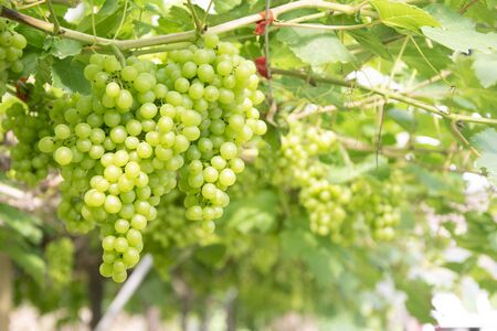 Bunch of green grapes on grapevine in vineyard. Stock Photo