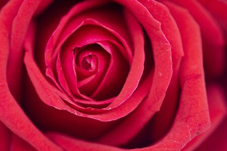 Defocused red rose flower background. Stock Photo