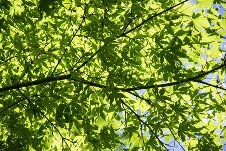 Summer Maple Leaves. Green leaves against a bright blue sky.