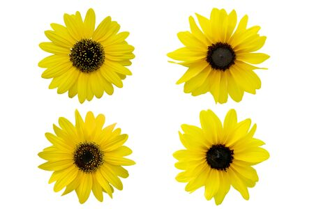 collection of Yellow chrysanthemum isolated on white background Zdjęcie Seryjne