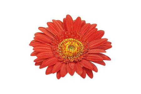 Red gerbera on white background.