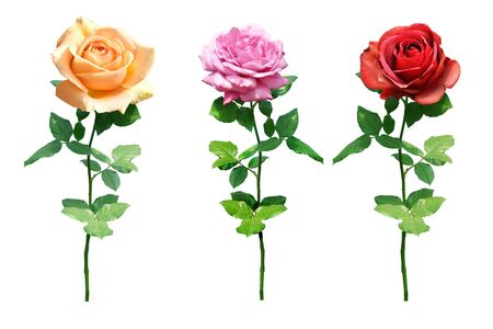 collection of rose Isolated on white background 免版税图像
