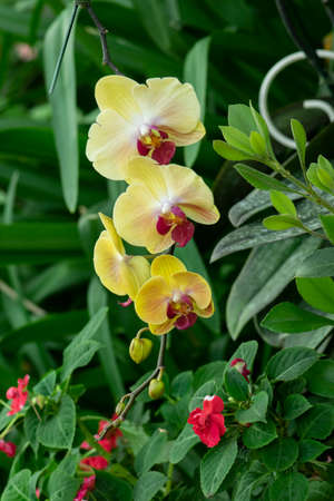 Beautiful yellow orchids flower in garden