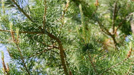 pomme de pin: Branch of Pine Tree with needles and Pine Cone. Banque d'images