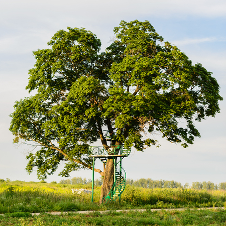 huge tree: huge oak tree growing in the summer field with green iron ladder leading him along the screw