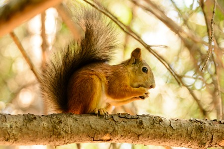 Red euroasian squirrel on the maple branch.