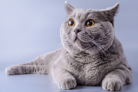 Pretty grey british short hair cat lying down looking away isolated on a purple background. Stock Photo