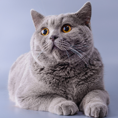 Very beautiful surprised British cat lies on purple background . The concept of pets.