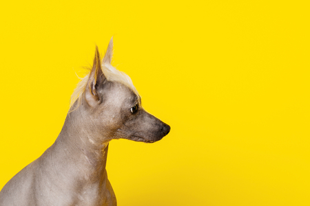 Portrait in profile of a male Chinese Crested Dog on yellow background -image Stockfoto