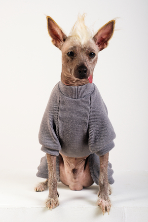 Close up Portrait of a male Chinese Crested Dog in gray sweater on white background Banque d'images
