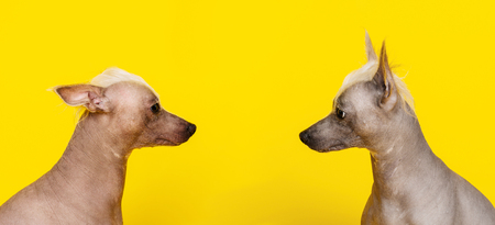 Portrait in profile of two Chinese Crested dogs looking at each other on yellow background -image