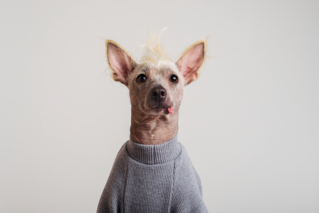 Close up Portrait of a male Chinese Crested Dog in gray sweater on white background 版權商用圖片