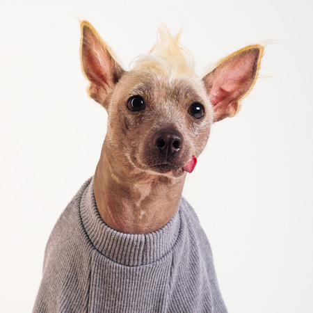 Close up Portrait of a male Chinese Crested Dog in gray sweater on white background Stockfoto