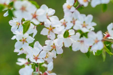 Sakura or cherry blossom flower full bloom spring season. - Image