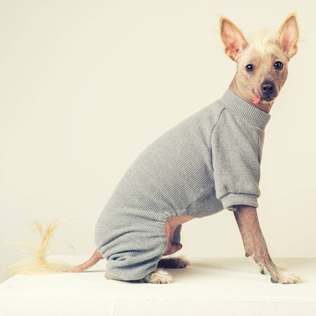 Close up Portrait of a male Chinese Crested Dog in gray sweater on white background. toned