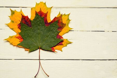 close up of three maple leaves various colors lie on top of each other