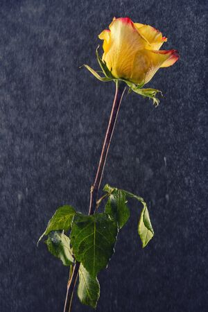 Yellow and red ombre rose on a black background being covered in water drops.